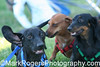 Dachshund Race<br /> California State Fair <br /> Sacramento, California