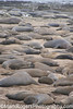 Elephant Seals<br /> Ano Neuvo State Park<br /> Northern California