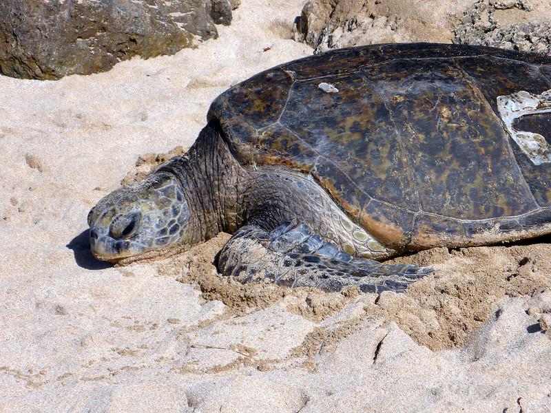 Beach between Waimea and Haleiwa (Save The Sea Turtles International).