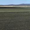 Onion fields.