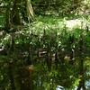 Dismal_Swamp5 5-2-11