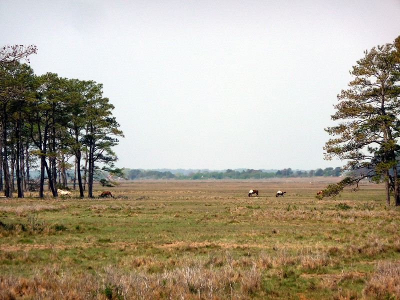 Chincoteague15 5-3-11