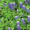 Austin_wild_flower_garden-07 3-27-12