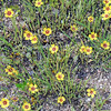 Austin_wild_flower_garden-19 3-27-12