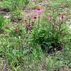 Austin_wild_flower_garden-17a 3-27-12