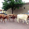 Cattle drive in Fort Worth.