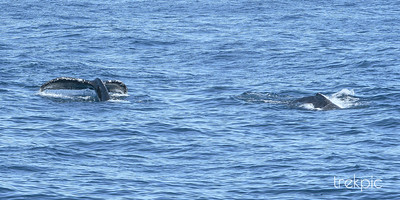 Grey Whale Tale