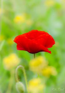 A Flanders poppy