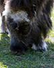 Palmer Musk Ox Farm : 4 galleries with 83 photos