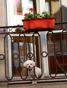 caniche parisien