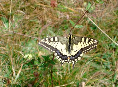39 Papillon