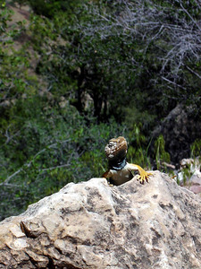Beautiful collared lizard (Spring 2005)