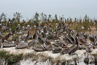 Pelicans in Shell Beach