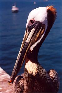 Pelican (Santa Barbara pier)