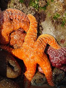 Sea stars (Gaviota Coast)