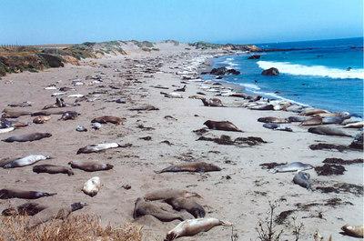 Sea lions (Piedras Blancas), not far from Hearst Castle