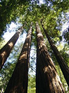 Hiking under redwoods.