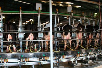2ieme ferme laitiere: 6000 vaches (2 plateaux tournants permettent de traire 110 vaches a la fois).