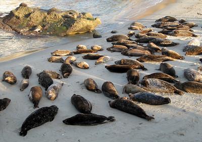 Harbor seals at Children's Pool