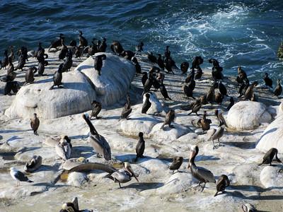Cormorans & pelicans