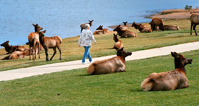 Estes Park (local lady walking through a herd of elks)