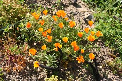 16 California poppy
