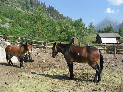 Mules in Mineral King Valley