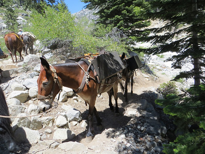 Mules returning from Bearpaw High Sierra Camp, a simple tent hotel run by the park concessionaire (reservations required) at 11.4 miles from Crescent Meadow.  http://www.visitsequoia.com/bearpaw.aspx