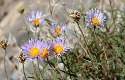 36 Mojave Aster IMG_0327