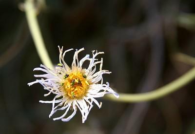 38 bugs on flower IMG_0347