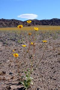 02 Desert gold IMG_0273