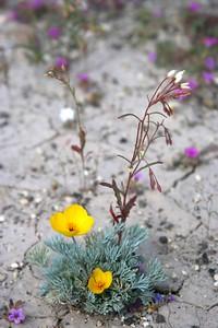 12 Desert Gold Poppy IMG_0297