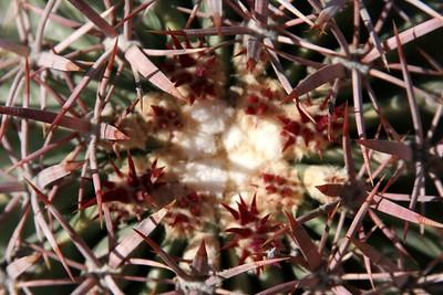42 close-up Cotton-Top Cactus IMG_0352
