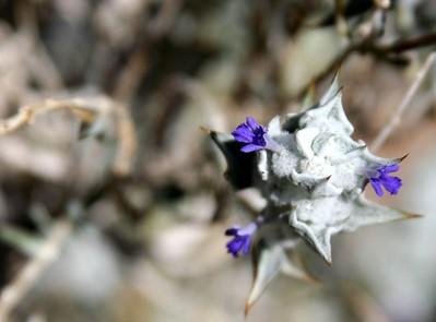 47 Death Valley Sage IMG_0355
