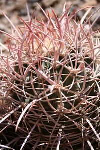 41 close-up Cotton-Top Cactus IMG_0334