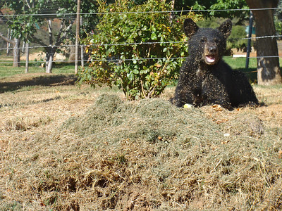 On the way home: bear cub playing in fresh cut hay