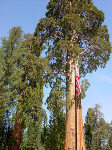 Sentinel (sequoia by the museum)
