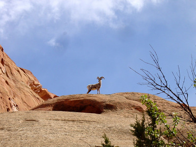 Our first time seeing a bighorn (Capitol Reef National Park 2003)
