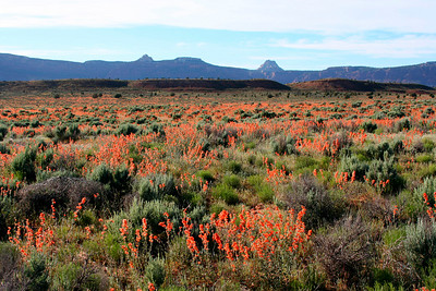 Wildflowers close to Kanab, Utah
