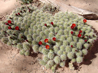 Claret cup cacti in bloom