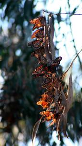 Monarch butterflies at Ellwood Butterfly Grove http://www.sblandtrust.org/coronado.html