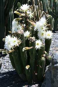 Cacti in bloom  http://www.lotusland.org/gardens/cactusgdn.html