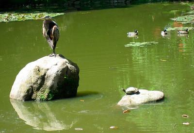 A heron is visiting Lotusland