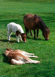 Miniature horses at Quicksilver Ranch.   http://www.syv.com/qsminis/