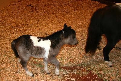 Poulain a Quicksilver Ranch