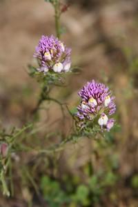 04 purple owl clovers