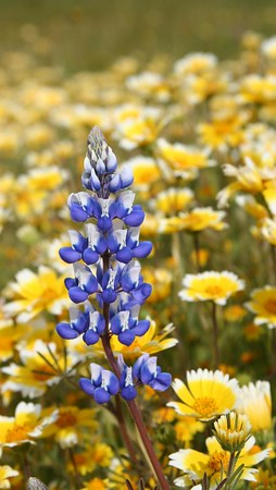 Wildflowers in Carrizo Plain National Monument (03/2005)