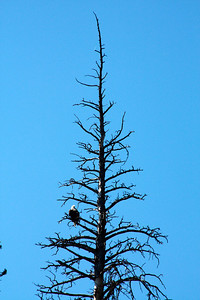 Eagle on top of a dead tree (I wish I had a better zoom)