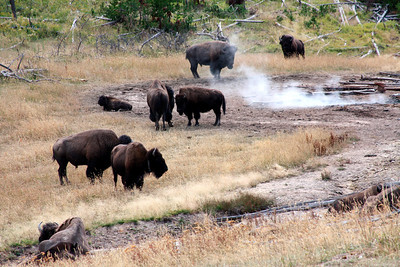 Bisons standing in thermal areas