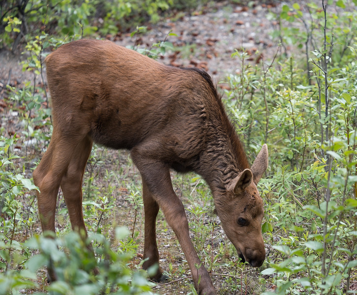 Moose calf in Denali National Park, Alaska.